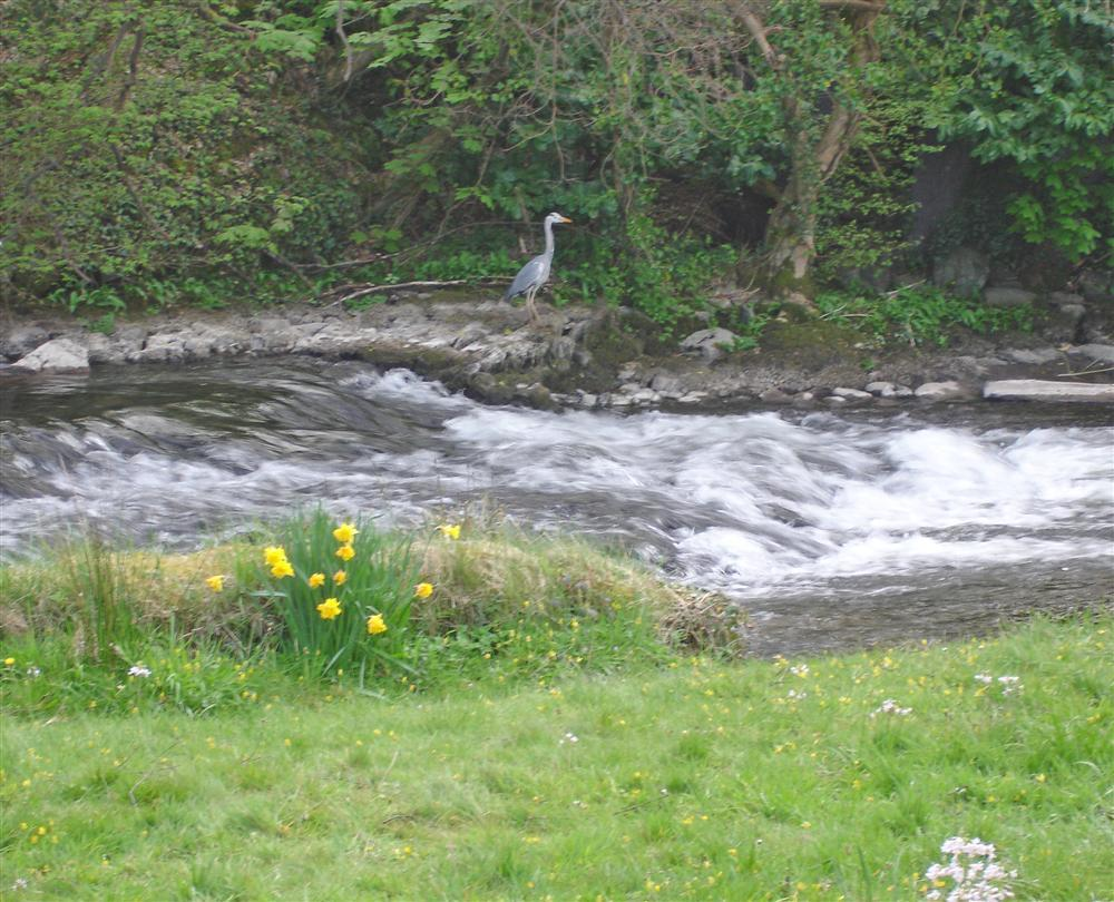 The Heron is a regular visitor